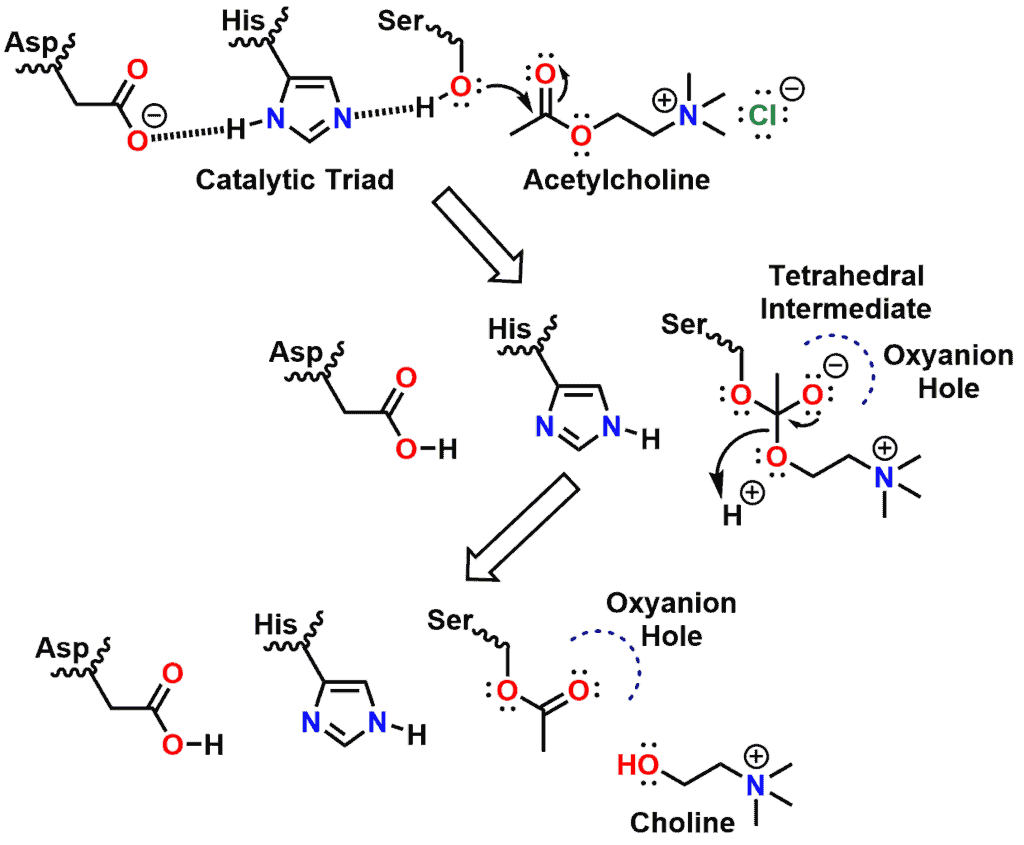 Figure 12 - Mechanism for hydrolysis of acetylcholine by acetylcholinesterase - Part 1